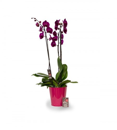 Orchidee - 3 branches