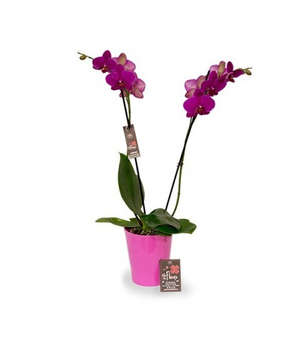 Orchidee - 2 branches