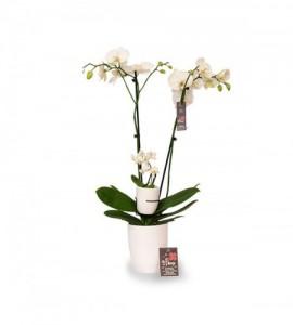 Orchidée maman bébé