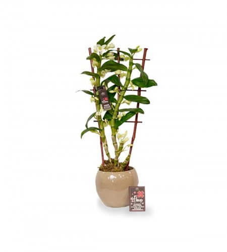 Dendrobium espalier