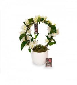 Dendrobium arceau