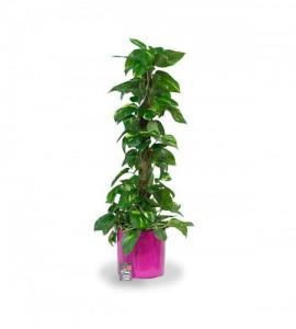Plante Scindapsus