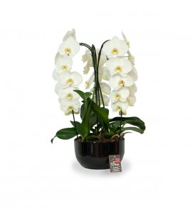 Coupe Orchidee