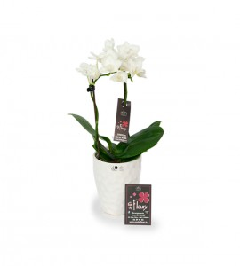 Mini orchidées et son cache pot