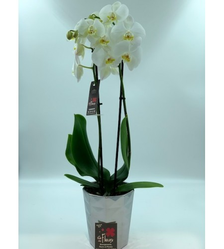 Phalaenopsis blanche 2 branches
