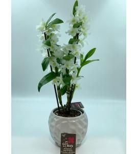 Dendrobium espalier et son cache pot