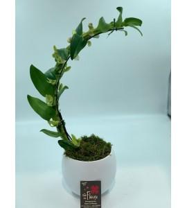 Dendrobium demi arche