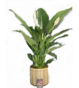 Plante Spathiphyllum